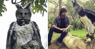 Harpy eagle next to guy
